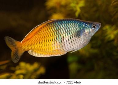 melanotaenia boesemani male in an aquarium