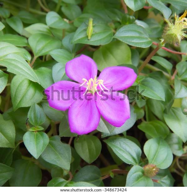 Melastoma malabathricum flower showing its stigma and anthers