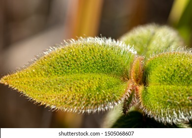 Melastomataceae leaf filled with trichomes