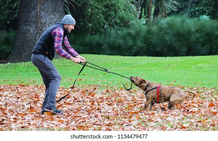 Melbourne, AU - MAY 13, 2018: Australian male owner is playing with his pitbull terrier dog in a garden.