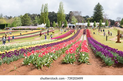 Melbourne, Australia - October 20, 2017: Tesselaar Tulip Festival, annual festival attract a lot of tourists from over the world.