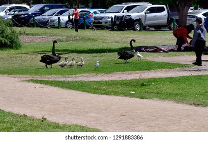 MELBOURNE, VIC, AUSTRALIA - NOVEMBER 04: Unidentified people and black swan family with cygnets in Albert Park, on November 04, 2017 in Melbourne, Australia
