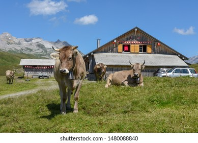 Melchsee-Frutt, Switzerland - 4 August 2019: Grazing cows at Melchsee-Frutt on the Swiss alps