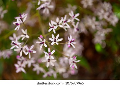 Melia azedarach chinaberry tree natural floral background