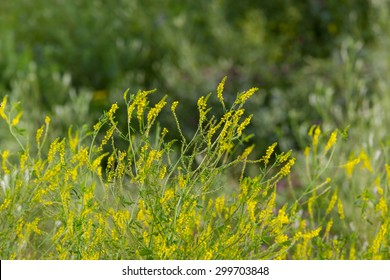 Clover and yellow flower images stock photos vectors shutterstock melilot yellow sweet clover thickets high yellow flowers on a background of green forest mightylinksfo