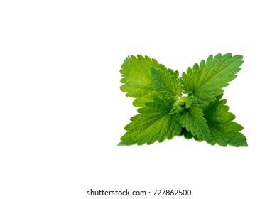 Melissa leaf or lemon balm isolated on white background