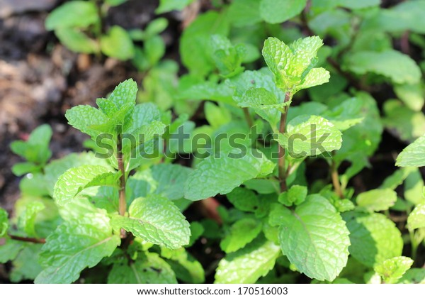 melissa or lemon balm leaves