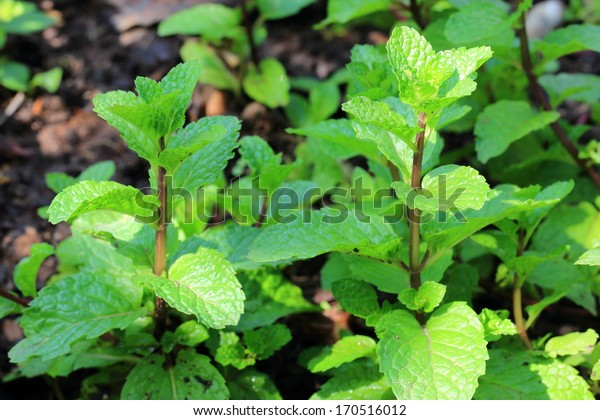 melissa or lemon balm leaves