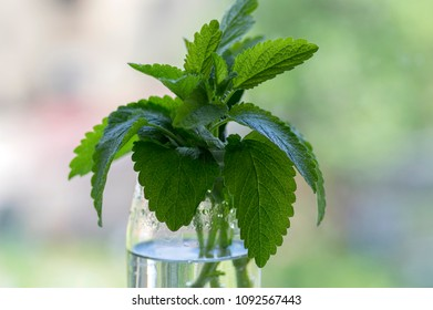 Melissa officinalis healthy herb, lemon balm stems with green leaves in transparent glass vase, blurry background