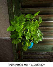 Melissa officinalis plant in a blue pot. The vase is hung on a wooden shutter.