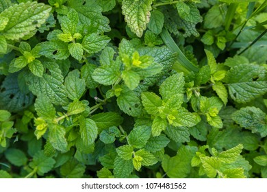 Melissa plant. Lemon balm in the garden.