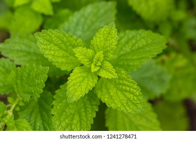Melissa plant, lemon balm in the garden.