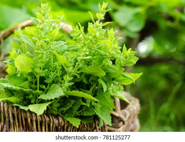 Melissa plant. Lemon balm in the garden. Countryside nature. Melissa leaf. Organic agriculture. Herb plant in the wild nature. Tea flavor. Village yard herbs. Nature retro photo.