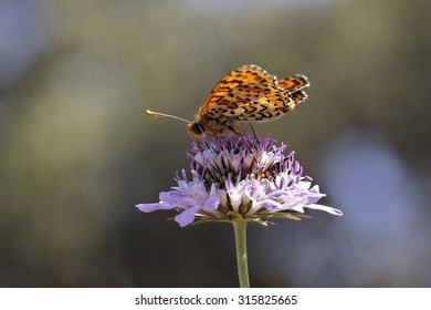 Melitaea didyma, Spotted fritillary or Red-band fritillary, european butterfly from France