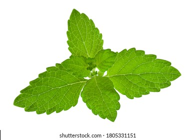 Mellisa lemon balm leaf cloesup isolated on white background