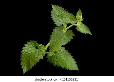 Mellisa lemon balm leaf cloesup isolated on black background
