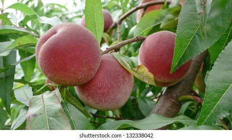 Mellow Peaches on branch