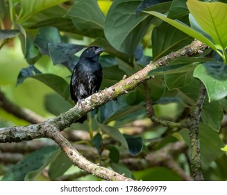 Melodious Blackbird (Dives dives) in a tree in Costa Rica