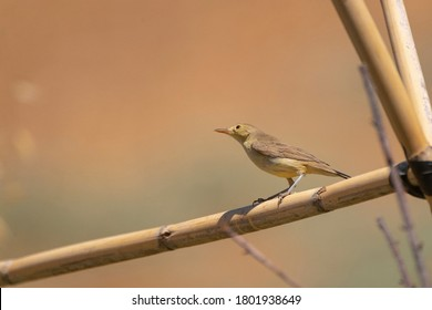 Melodious warbler (Hippolais polyglotta) Malaga, Spain