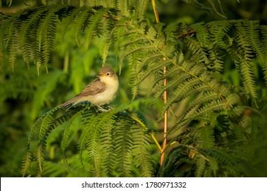 Melodious Warbler Hippolais polyglotta on Fern O Seixo Mugardos Galicia Spain