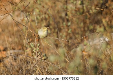 A melodious warbler (Hippolais polyglotta) perched at sunrise in a bush in the grasslands of the Algarve Portugal.