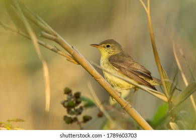 Melodious warbler (Hippolais polyglotta) sitting on a stick in a bush. Small songbird with yellow throat detailed portrait with soft green background. Wildlife scene from nature. Croatia