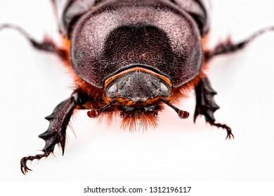 Melolontha Scarabaeidae Coleoptera