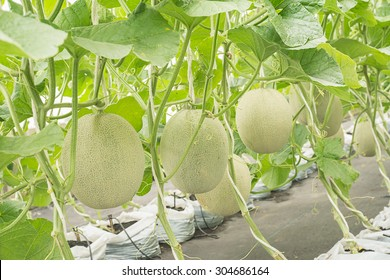 Cantaloupe Plant Images Stock Photos Vectors Shutterstock However, no true cantaloupes are melons seeds can be planted directly in the garden or transplants can be grown to get an early start. https www shutterstock com image photo melon cantaloupe fruit hanging plant nursery 304686164
