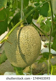 melon farm in hot weather background texture