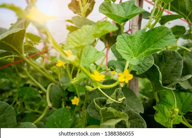 Melon flower, melon plant growing in organic garden, growing melon seedlings on the farm. fresh melons or green melons or cantaloupe melons plants growing in greenhouse supported by string melon nets.