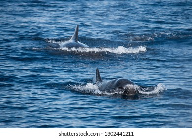 Melon Head Whales swimming in Timor