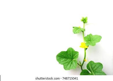 Melon and leaf on white background,Flowers of melons.