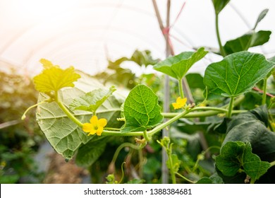 Melon leaf, melon plant growing in organic garden, growing melon seedlings on the farm. fresh melons or green melons or cantaloupe melons plants growing in greenhouse supported by string melon nets.