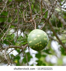 melone fruit,Kruger national park
