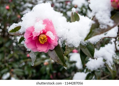 Melting snow capped pink camellia flower in early spring