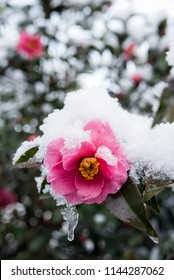 Melting snow capped pink camellia flower in vertical composition