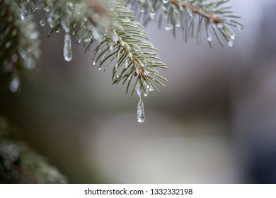 Melting Snow Drips on a Branch in Winter Season