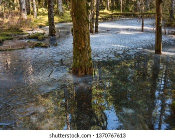 Melting snow forms a pond along the Bartlett River trail near Gustavus Alaska in early sping on a sunny day.
