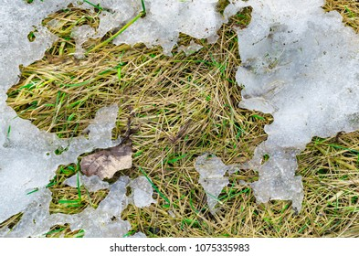 Melting snow on a spring yellow grass under the sunlight.
