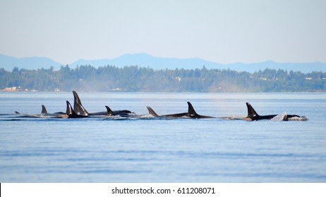 Members of J- and L-Pods from the Southern Resident Community of killer whales travel north through Haro Strait near the San Juan Islands with Vancouver Island, British Columbia in the background