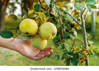 Membrillo (Quince fruit) (Cydonia Oblonga) fruits ready to harvest. Man hand reaching Quince fruit to harvest it and made jam. With copy space and sunlight coming from the right.