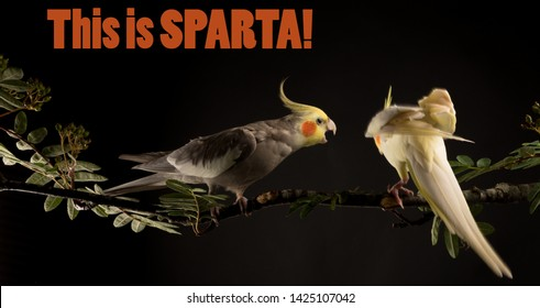 Meme, This is Sparta, Funny Bird Memes. Two Parrots fighting.