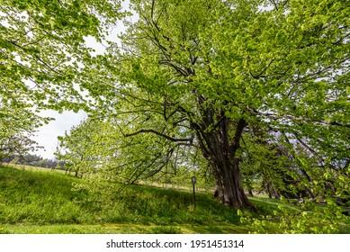 The memorable tree Sarbochova Lipa in Orlicke Hory, Czech republic. - Shutterstock ID 1951451314