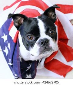 Memorial Day Boston Terrier