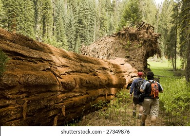 Men Hiking Along Fallen Redwood Tree in Sequoia National Park