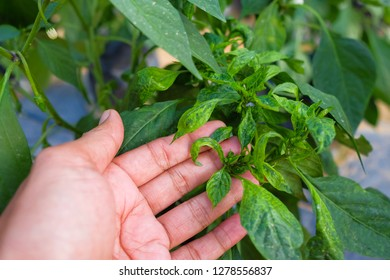 Men hold the pepper trees that have been infected with the disease Chilli mosaic virus (CMV) is common disease of chilli.