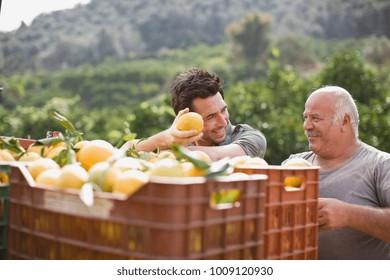 Men working at orange plantation