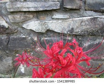 Mena, Arkansas / USA - September 3 2019: Surprise Lilies make a bold statement against an old rock wall