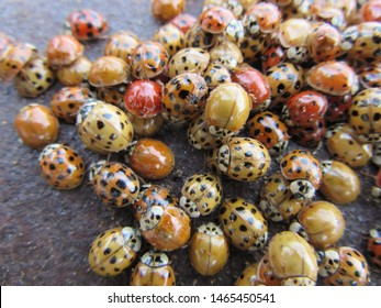 Mena, Arkansas/USA - circa February 2017: A group, also called a loveliness, of live multi-colored ladybugs, also called ladybirds. This image includes ladybugs that are red, yellow and orange.