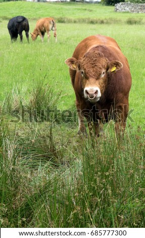 Menacing Brown Bull Ring Nose South Stock Photo Edit Now 685777300